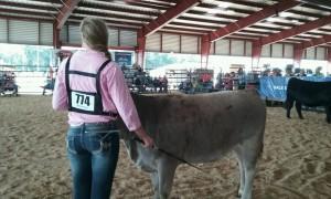 heifer 2