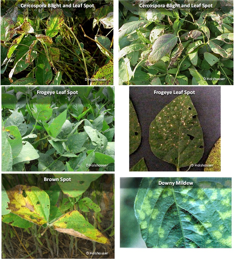 Foliar-Diseases-in-Soybean