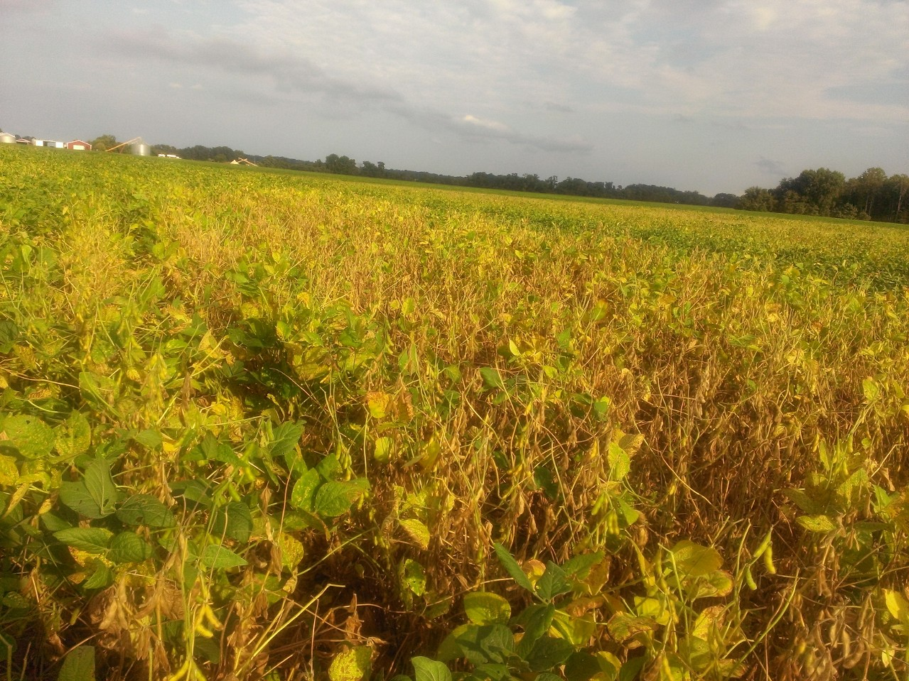 SDS in On-Farm Variety Test in Virginia