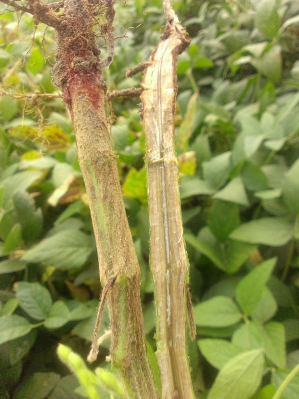 SDS Symptoms in Soybean Stem