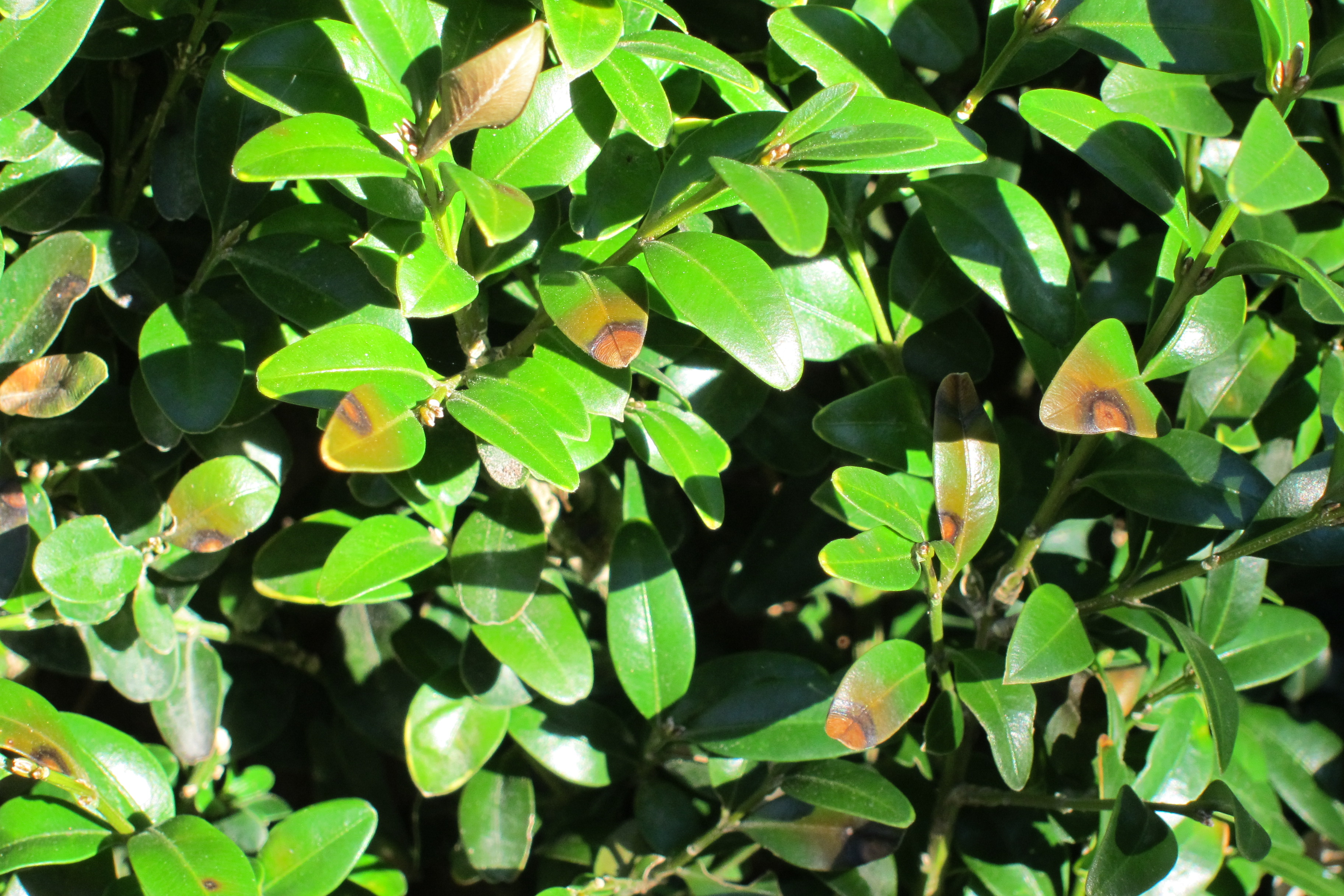 Leaf spots on boxwood caused by the boxwood blight pathogen (photo by A. Bordas)