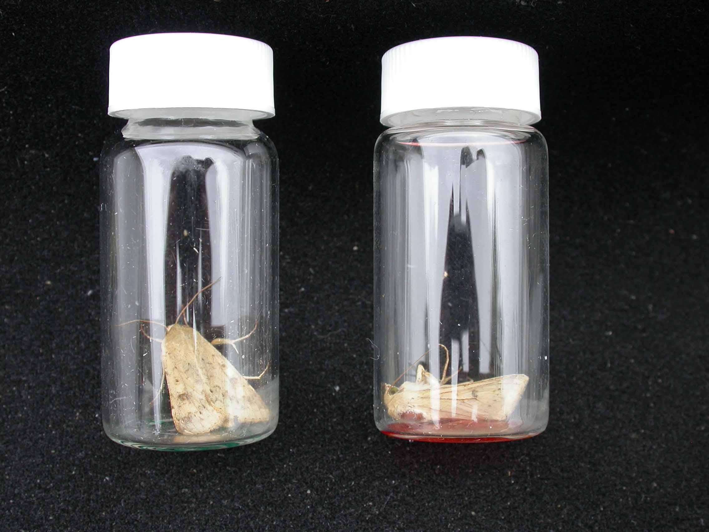 Corn earworm moths in the cypermethrin vial test