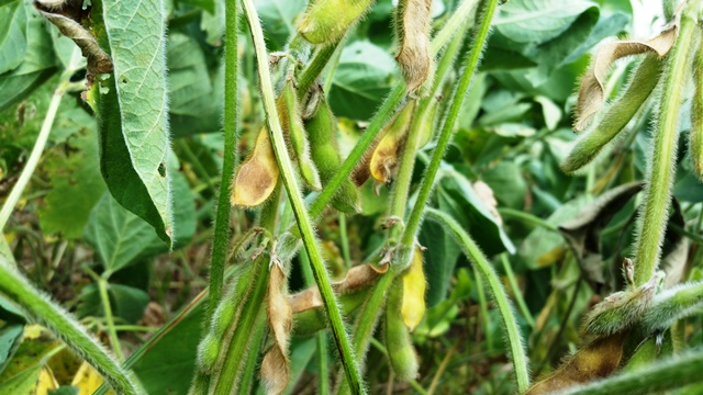 Virginia Soybeans 5 Lessons Learned From Late Season