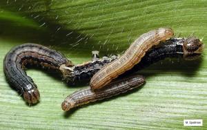 TAW_larvae