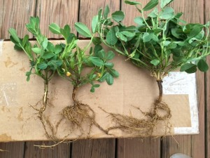 Smaller and yellower two plants at the left are due to poorer nodulation than for plant at the right, even though planted at the same time.