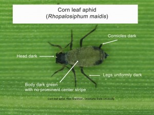 corn leaf aphid