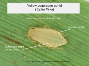 yellow sugarcane aphid grantham osu