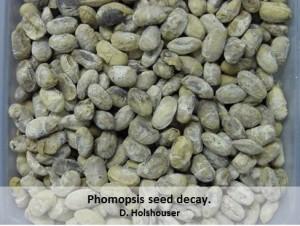 Phomopsis-Seed-Decay