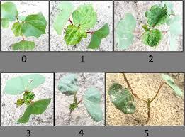 Thrips dispersal and foliar sprays | Virginia Ag Pest and Crop Advisory