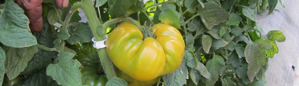 A fresh heirloom tomato.