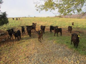 Fall calves from the 2013 season on Mr. Harrison's farm in Troy, Va.