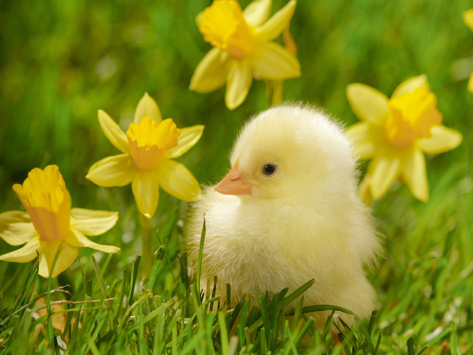 spring_chick_and_daffodils