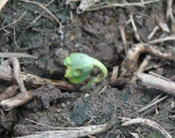 Slug Damage Soybean