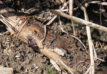 Slug Under corn residue
