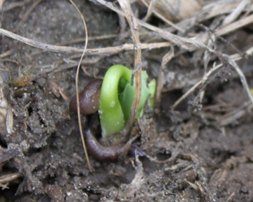 Slug on Soybean