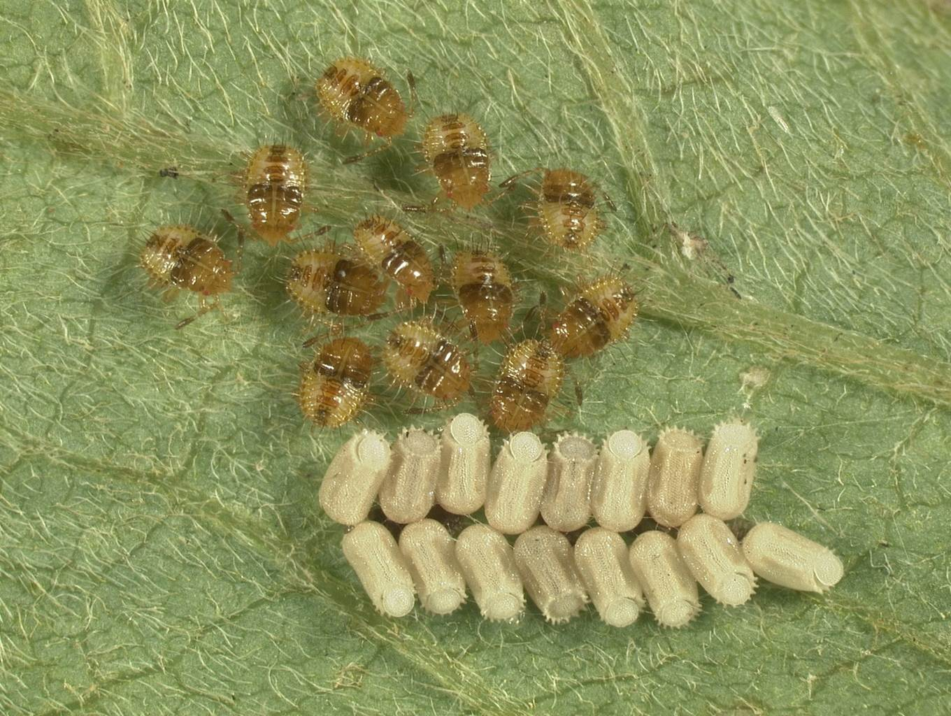 Kudzu bug nymphs-first instar